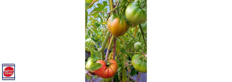 Sluta vattna tomaterna!