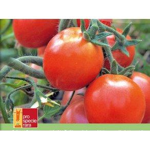 Dyrker du også. Tomat Tica KS - biodynamiske frø.
