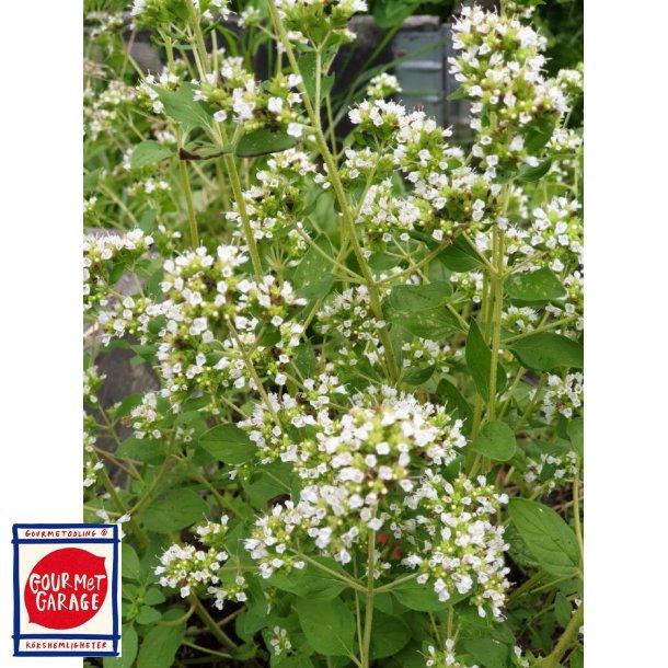 Oregano a fiore bianco (Origanum heracloticum)