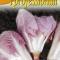 Cicoria rosa - rosa radicchio - på lager igen 2020