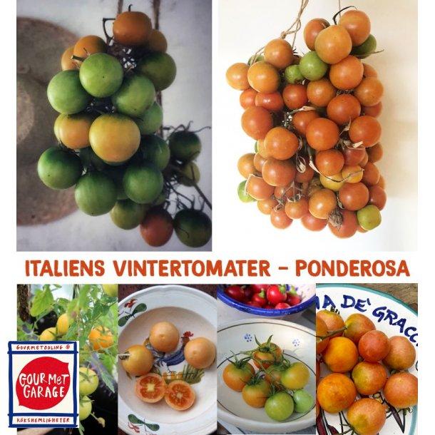 Tomat Ponderosa - vintertomat