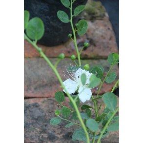 Kapersplante