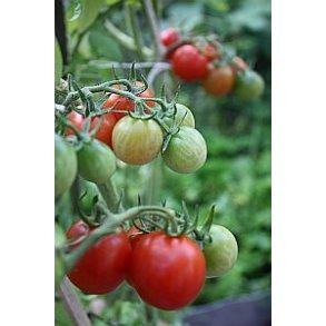 Tomatfrø - frø til tomater